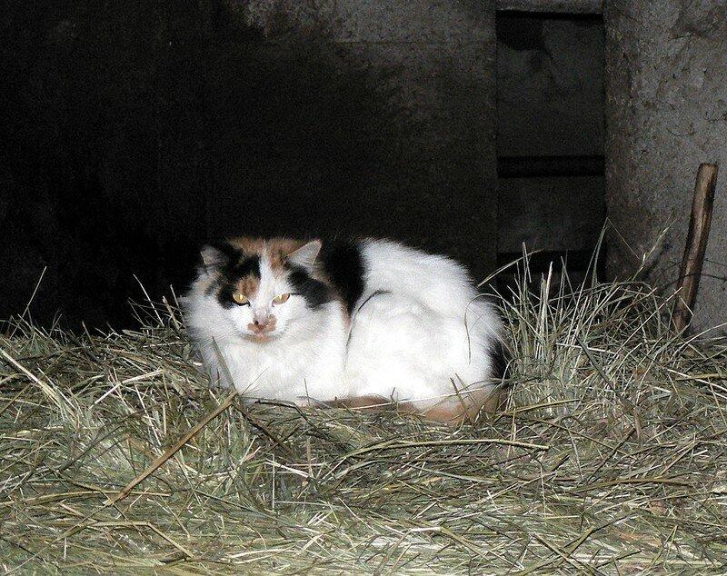chat dans une grange