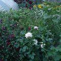 2009 08 17 Mon jardin en fleurs