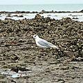 Oiseaux ile de re foto Mo2 (39)-h1500