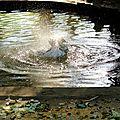 le canard féérique