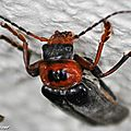 Téléphore moine • Cantharis rustica • Famille des Cantharidae