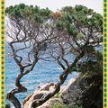 Génevrier , Espèce Littorale -Grand-Sud Corse ...