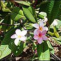 Fleurs de frangipanier ....