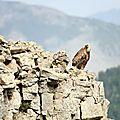 vautour IMG_0110