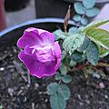 La Rose <b>Rhapsody</b> <b>in</b> <b>Blue</b>
