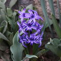 2009 04 05 Une jacinthe bleu