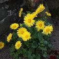 2009 05 06 Marguerite Doronicum Oriental