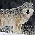 Le loup se prépare