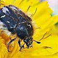 ... Des insectes poilus qui butinent