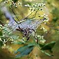 Teigne * Ermine <b>moth</b>