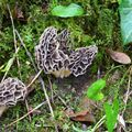 Bouquet de morilles communes