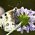 Les Apollons du refuge du Tourond, et autres <b>papillons</b>