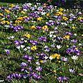 La floraison des crocus marque la fin de l'hiver
