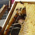 Pillage de miel