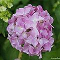 Fleurs du
