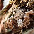 Xysticus sp. • Famille des Thomisidae