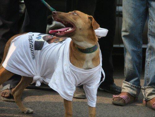 Kabila as a dog mascot of Bemba's supporters (three)