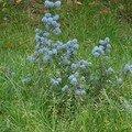 Petit céanothe au milieu de la pelouse - avril 2007