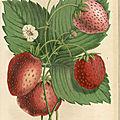 Des cadeaux à la fraise