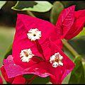 Fleurs de bougainvillée (1)