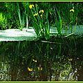 Iris jaunes 28041511