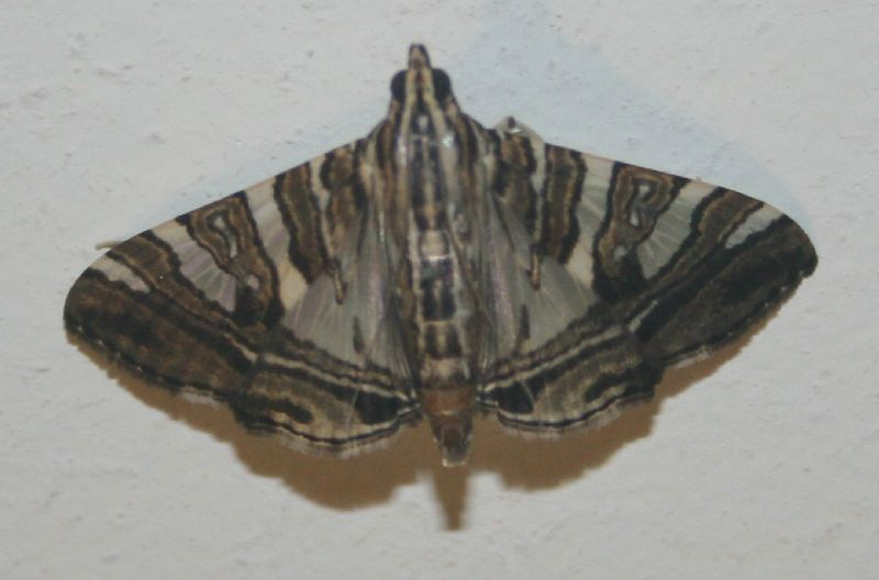 Glyphodes shafferorum