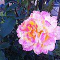 Rosa rosam rosae...