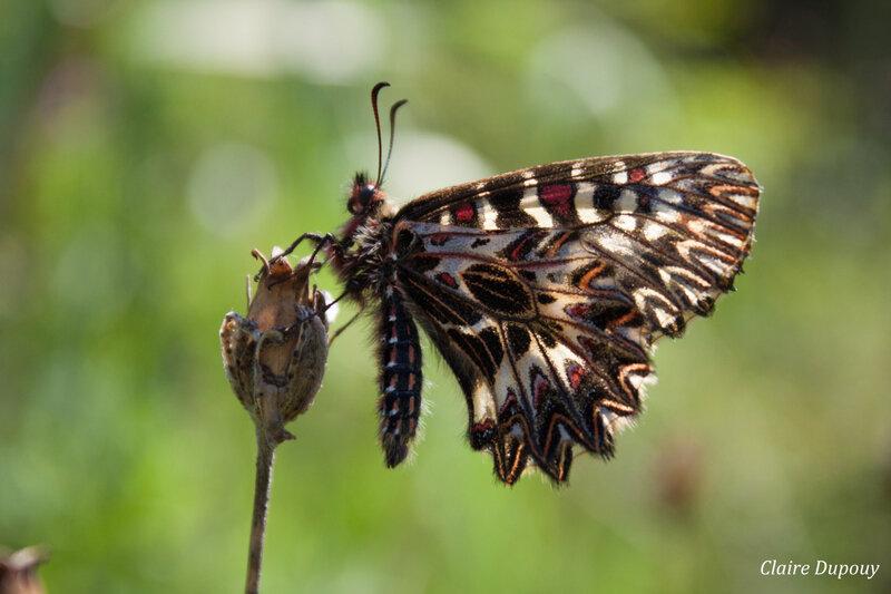 Farfalla primaverile2b