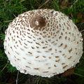 champignon : coulemelle (lépiote élevée)