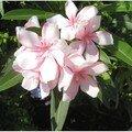 Le nerium oleander aux fleurs si délicates...