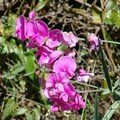 fleurs mauves3