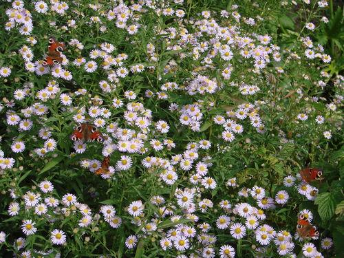 2008 09 18 Les papillons sur les fleurs d'asters