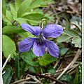 1 violette odorante