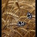 Butterfly (13)