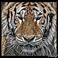 portrait tigre 2