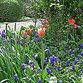 tulipes et muscaris
