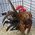 Les Ayam Serama de Vallis Aurea