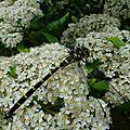 Dans mon jardin, la 2ème plus grande libellule de france