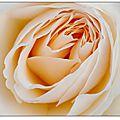 Dans l'intimité des roses...