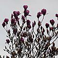 Magnolia 2901165