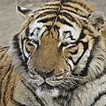Tigres de HArbin