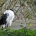Parc animalier de Sainte-Croix - Ibis sacré