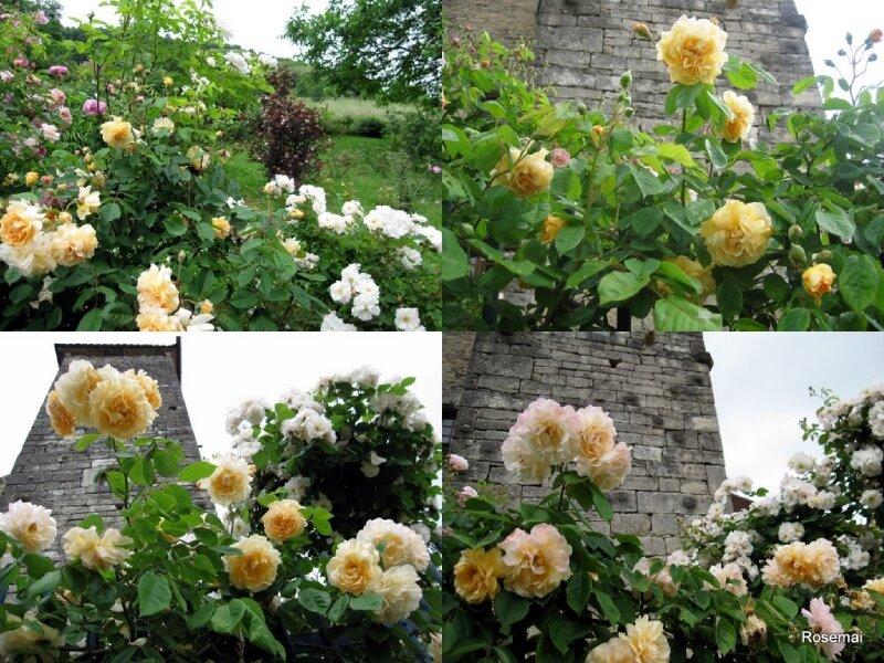 Rose ancienne : 'Buff Beauty'