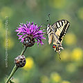 Papilio <b>machaon</b> #1