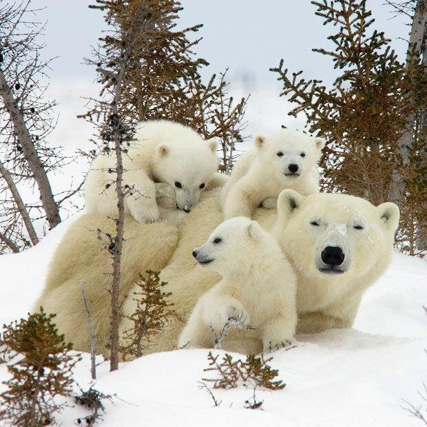 ours blanc hiver neige