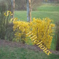 Tunique forsythia vs gazon !!!!