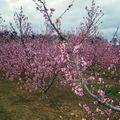 Les arbres fruitiers de la vallée du rhône