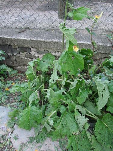 2008 07 07 Mes Aunées vivaces aprés la grêle