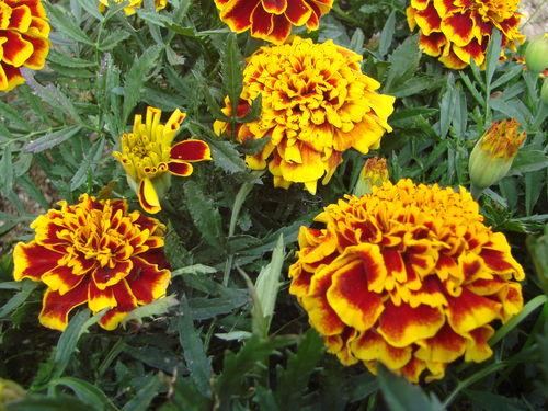 2008 08 25 Mes oeillets d'Inde colossus en fleur