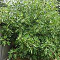 30 juillet - histoire de figues et de figuiers